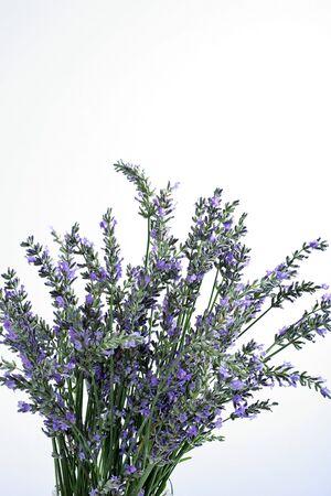 fresh lavender on white background
