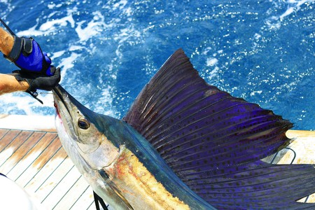 sailfish: beautiful sailfish