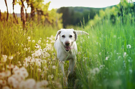 labrador: dog in tall grass with dandelions