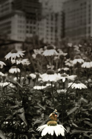 coneflowers: Urban garden with coneflowers, butterfly and city buildings in background