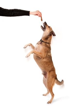 Canine trainer holding a pet treat for jumping dog