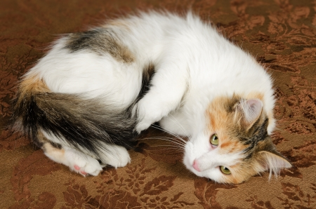 calico whiskers: Cute Young Calico Torbie Kitten Cat Stock Photo