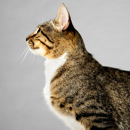 gray cat: Profile of Young Brown Tabby Cat on Gray Background Stock Photo
