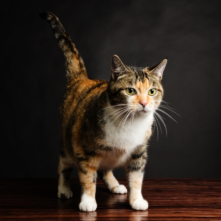 calico whiskers: Young Torbie Kitten Cat Looking