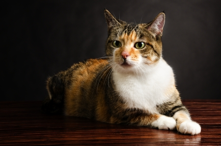calico whiskers: Young Torbie Kitten Cat Posing Stock Photo