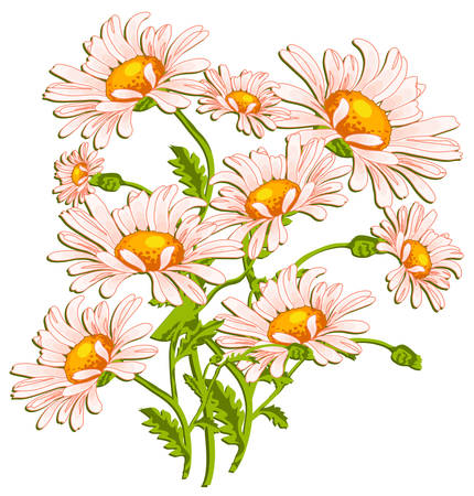 oxeye: Bouquet of ox-eye daisys on white, summer illustration for pleasant background  Illustration