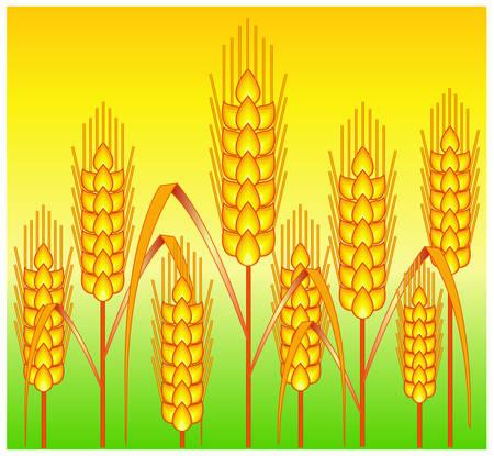 thresh: Maduros de color amarillo trigo orejas en el suelo, la agricultura ilustraci�n