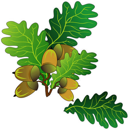 Branch of oak with green leaves and ripe acorns, vector an illustration Vector