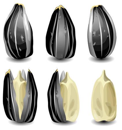 semillas de girasol: Despejado crudo y semillas de girasol, objeto aislado en el fondo blanco, ilustración