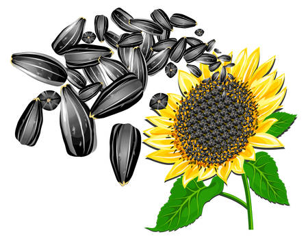 sunflower seeds: Sunflower seeds and beautiful flower on a white background, vector illustration