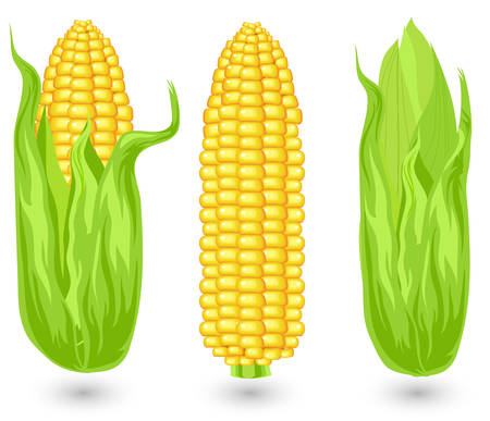 ears: Ears of ripe corn, agricultural, reaped crop, illustration
