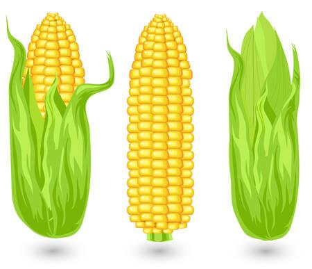mazorca de maiz: Orejas de ma�z maduro, la agricultura, cultivo cosechado, ilustraci�n