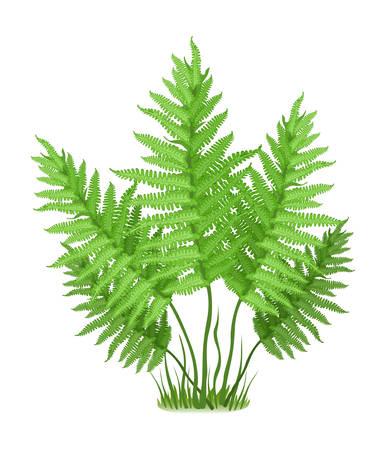 ferns: Planta de la familia de helecho en el fondo blanco, ilustraci�n vectorial