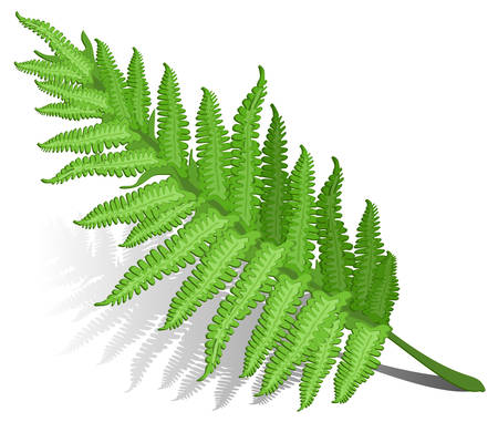 Single fern leaf isolated on white background , vector illustration