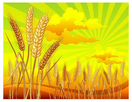 green field: Landscape with ripe yellow wheat ears on field, agricultural illustration