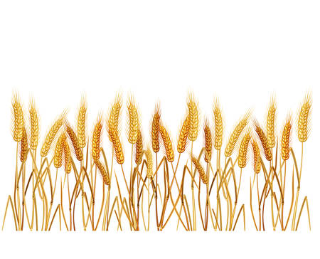 Ripe yellow wheat ears on field, agricultural illustration