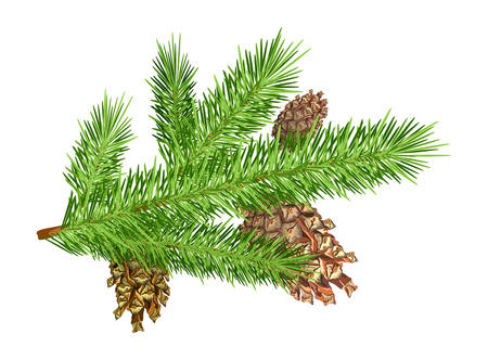 Three cones on christmas tree branch. Isolated object on white. Vector