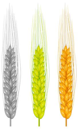 agrarian: Color ear wheat on white, agricultural vector illustration