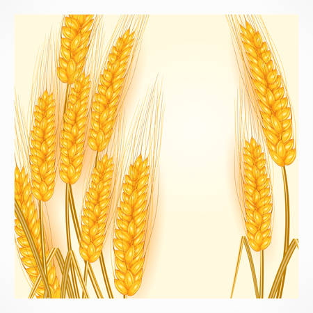 agrarian: Ripe ear wheat on white background, agricultural vector illustration