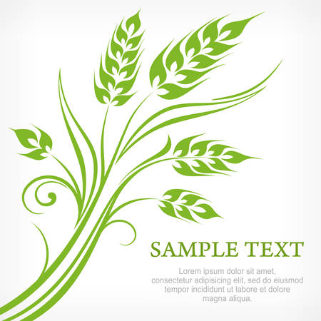 green wheat: Stylized ears of wheat in green on white, vector illustration