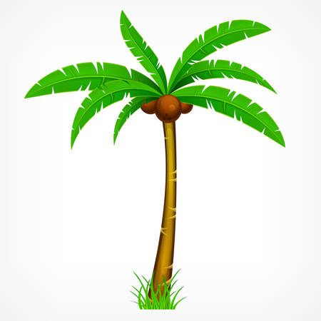 Tropical palm trees with green leaves and coconuts on white. Vector illustration