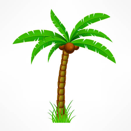 crone: Tropical palm trees with green leaves and coconuts on white. Vector illustration