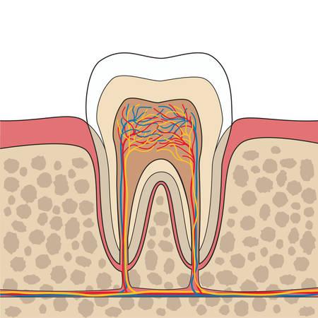 muela: Corte transversal de los dientes, las encías, la anatomía del hueso. Anatomía del diente. Diente representación anatómica. ilustración vectorial