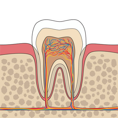 tooth: Cross section of tooth, gum, bone anatomy. Tooth Anatomy. Tooth anatomical depiction. Vector illustration