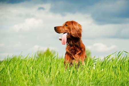 setter: Hunting irish setter sitting in the grass Stock Photo