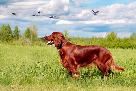 chestnut male: Hunting irish setter standing in the grass