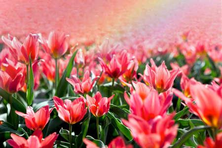 チューリップ ・春の花のフィールドの上の虹