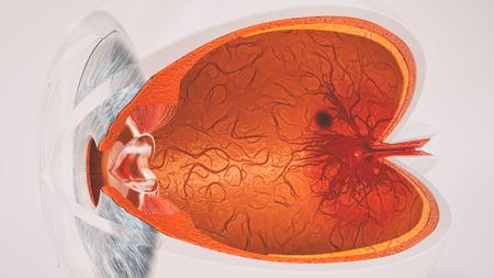 Human eye anatomy very detailed in cross section