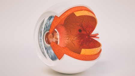 Human eye anatomy very detailed in cross section