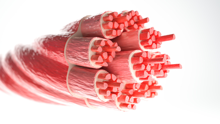Muskeltyp: Skelettmuskel - Querschnitt durch einen Muskel mit sichtbaren Muskelfasern - 3D-Rendering Standard-Bild