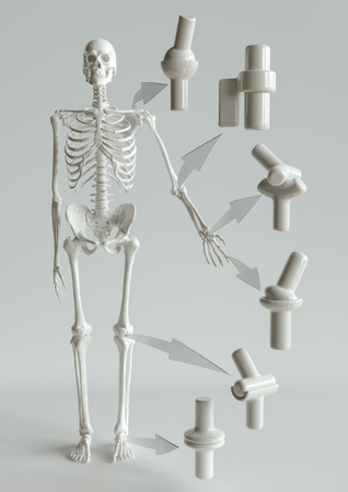 Joint types on the human skeleton-- 3D Rendering Stock Photo