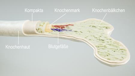 Anatomys of a bone -- 3D Rendering Фото со стока