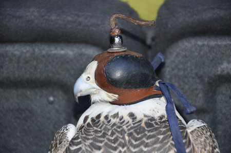 falconry bird of prey