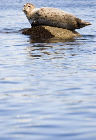 A seal lounging on a rock Stock Photo - 440184