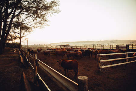 jersey cow: Free range cattle gazing at sunrise on south african ranch at sunset