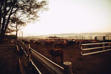 free range: Free range cattle gazing at sunrise on south african ranch at sunset