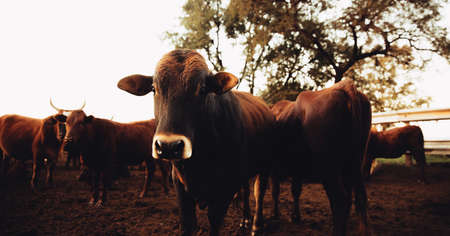 farmlife: Curiuos jersey cow looking at camera on dusty ranch in south africa at with backlit