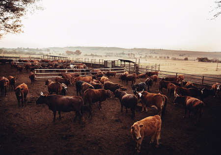 steers: High angle shot of jersey cow cattle in dusty open land farm in western USA Stock Photo