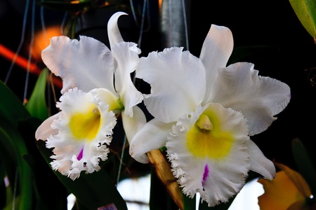 Couple white orchid Stock Photo - 8785290