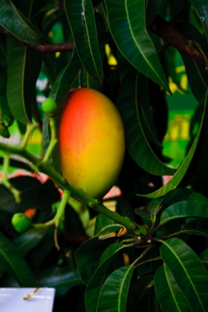 Orange mango on tree