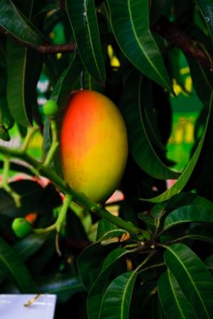 Orange mango on tree Stock Photo - 8785289