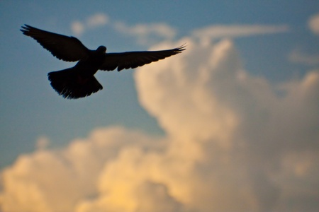 lonely bird: silhouette pigeon bird high flyer in the sky