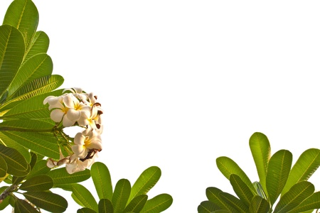 White plumeria flowers frame on bottom left and white background isolated photo