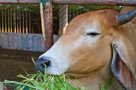 Brown cow eating grass in livestock