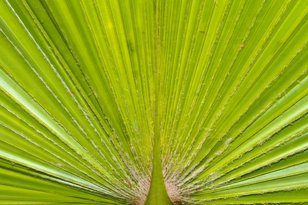 Palm leaf surface texture background close up macro Stock Photo - 13057658