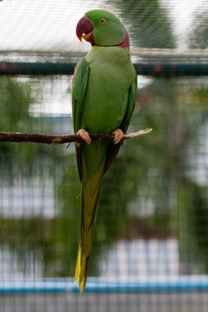 red beak: Green macaw with red beak on perch